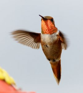 flying-orange-bird