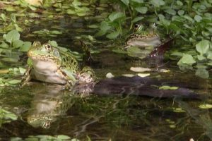 frogs-in-water