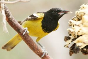 yellow-and-black-bird