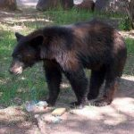 Black Bear at Cave Creek Ranch